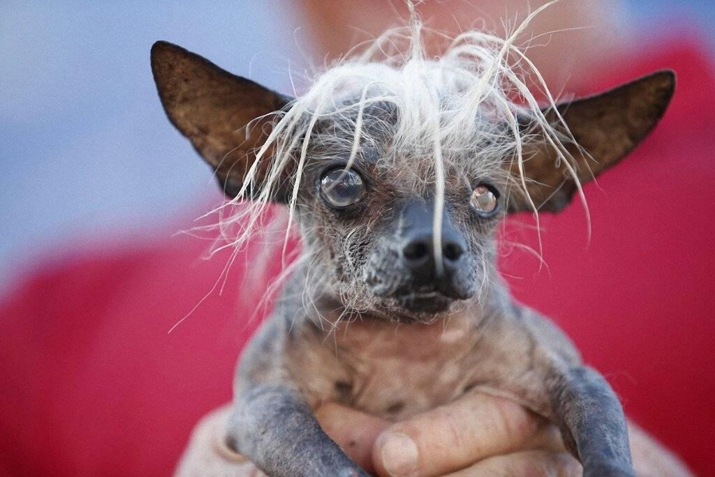 Самые страшные коты (16 фото): описание пород самых некрасивых в мире кошек