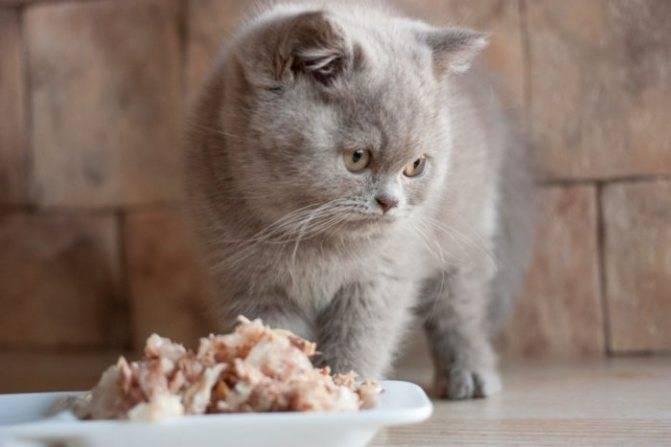 Вязка шотландских кошек: с кем скрещивать, правила случки в домашних условиях
