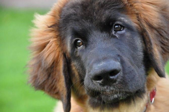 Описание породы собак, продолжительность жизни, цена леонбергера