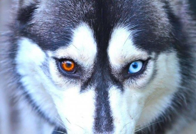 Хаски коричневые: как выглядят щенки на фото и встречаются ли с коричневыми глазами, а также в каком уходе нуждаются питомцы