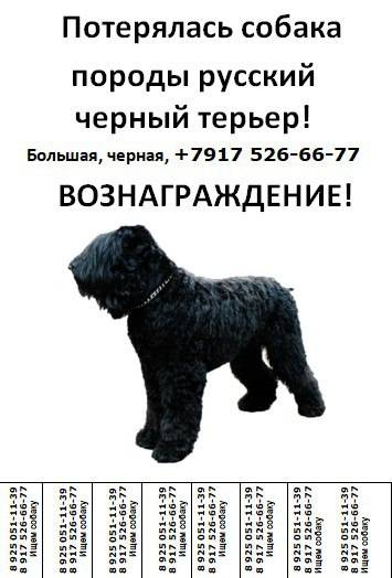Характеристика породы собак черный терьер, фото и отзывы заводчиков