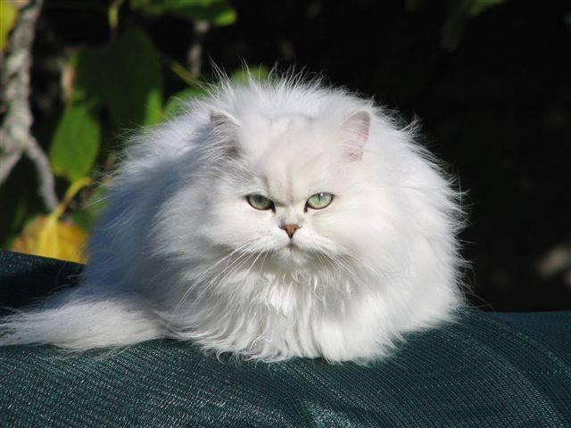 Кошки персидские шишиллы: описание породы, характер, особенности ухода, история