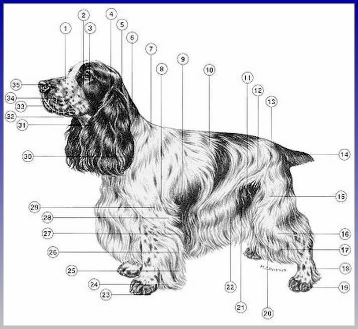 Характеристика собак породы русский спаниель и отзывы владельцев о нем