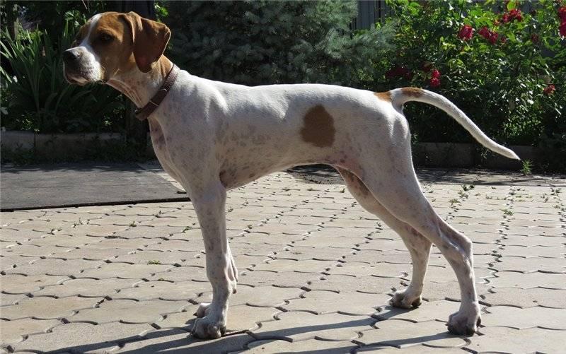 Собака английский пойнтер: характеристика и характер породы, особенности содержания, кормления и ухода