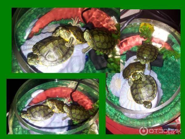 Как кормить красноухую черепаху в домашних условиях?