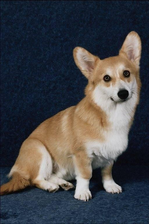 Собака с короткими лапами и большими ушами: что это за порода