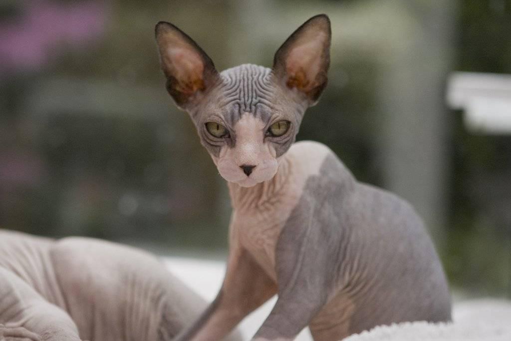 Порода кошек сфинкс: описание породы, особенности содержания и ухода за котами сфинкс