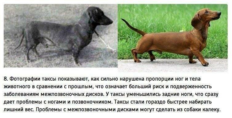 Московский дракон — описание породы собак