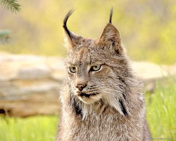 Интересные факты о рыси: описание, повадки и ареал обитания | интересный сайт
