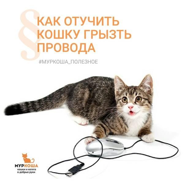 Почему кошка грызет провода: что делать почему кошка грызет провода: что делать