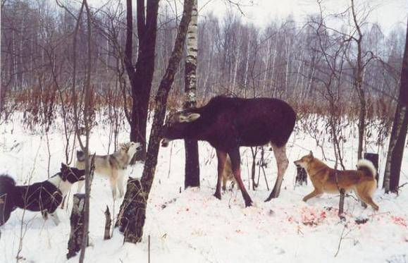 Охота с лайкой: на кого можно охотиться с собаками этой породы?