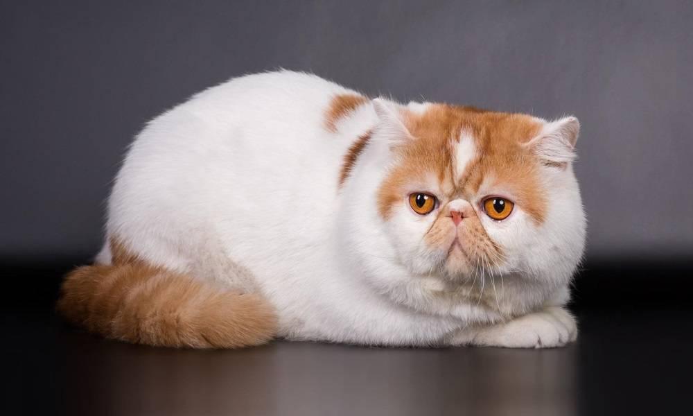 Экзотическая короткошерстная кошка: подробное описание, фото, купить, видео, цена, содержание дома