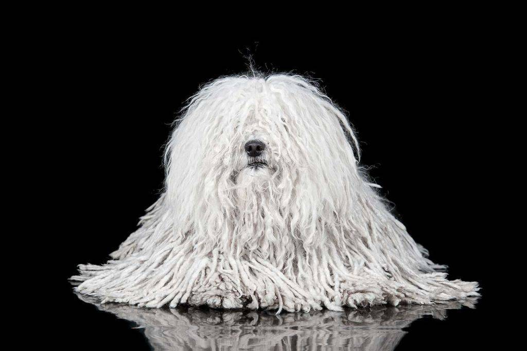 Собака комондор (фото): царь среди пастухов
