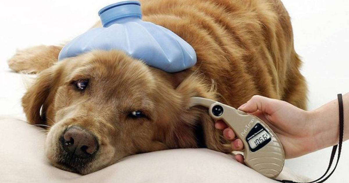 Сахарный диабет у кошек: симптомы и лечение - ситивет, спб