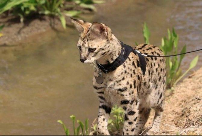 Домашняя кошка оцелот - как выглядит и чем питается дома и в дикой природе