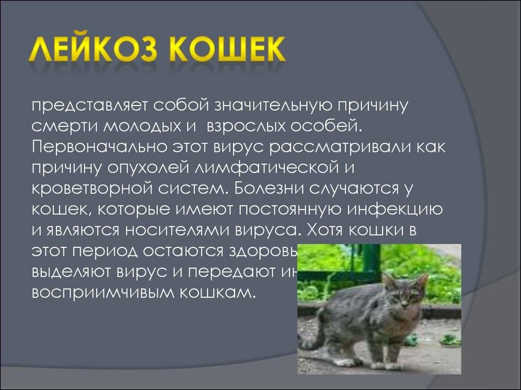 Вирус иммунодефицита кошек (симптомы и лечение) │ кошачий иммунодефицит. как передается?