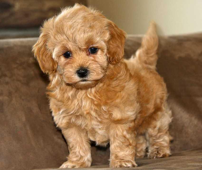 Мальтипу – собака миниатюрной породы