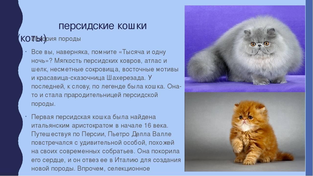 Сколько лет живут персидские кошки в домашних условиях: факты