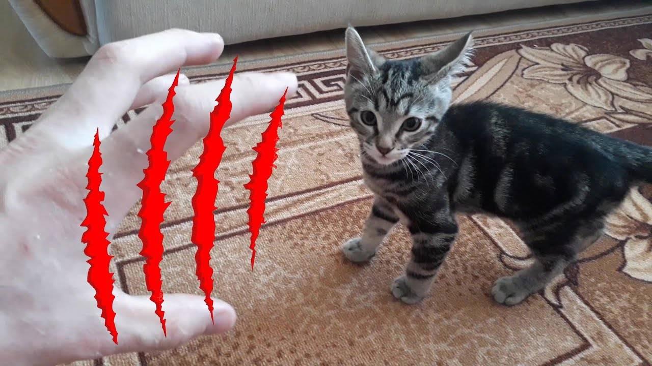 Почему котенок постоянно кусается и царапается: причины и как отучить