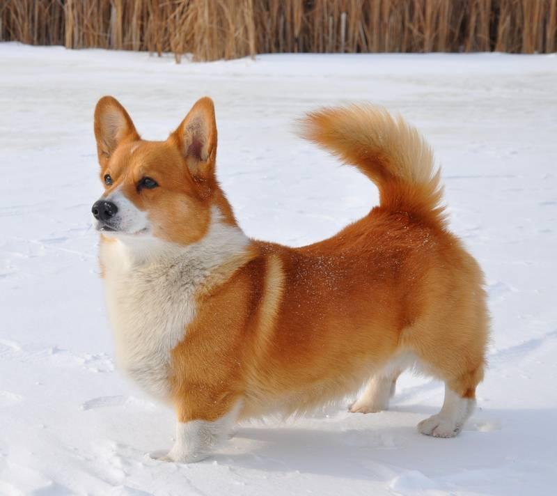 Собака, похожая на лису: маленькая порода, шелти, корги