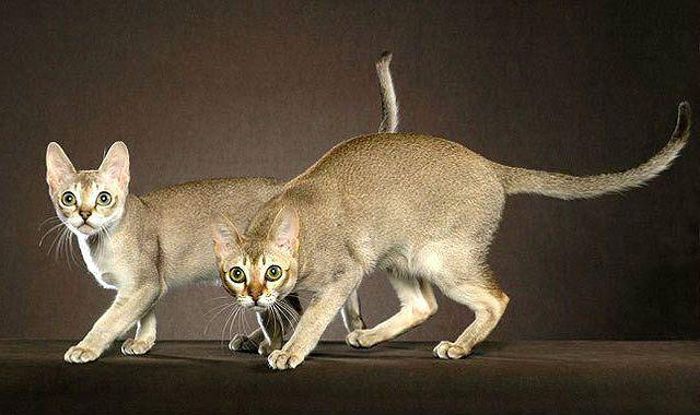 Маленькая азиатка из сингапура — сингапурская короткошерстная кошка