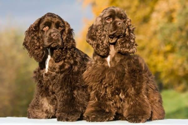 Американский кокер-спаниель описание породы собак, фото и видео материалы, отзывы о породе