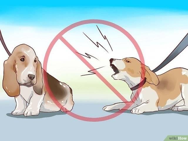 Бигль в квартире: правила содержания охотничьей породы в городских условиях