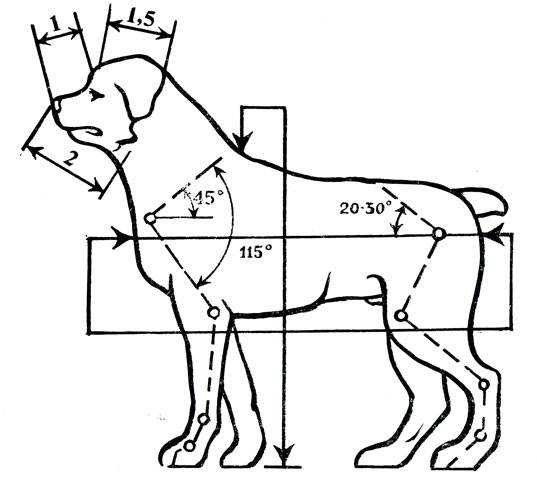 Как измерить рост собаки в холке