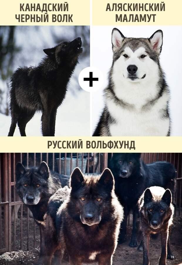 Порода волкособ — фото и описание, характер собаки, цена щенков