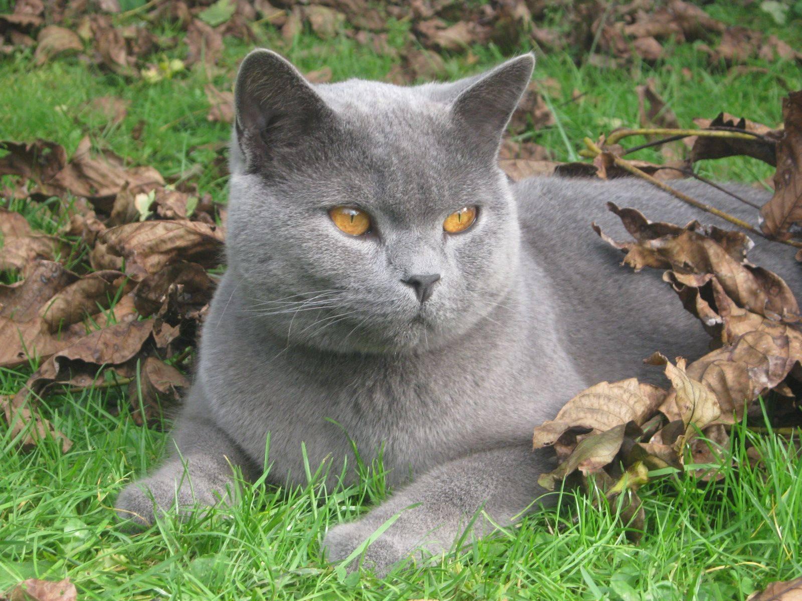 Картезианская кошка, или шартрез: описание породы, характер, цена, содержание и уход, фото