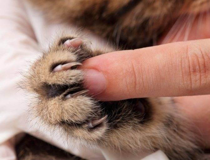 Почему кошки топчут нас и мнут одеяло лапками