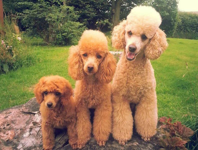 Карликовый пудель: описание, фото, характер, болезни, уход, содержание породы собак