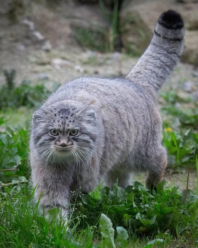 Степной кот: внешний вид, поведение, отличительные особенности