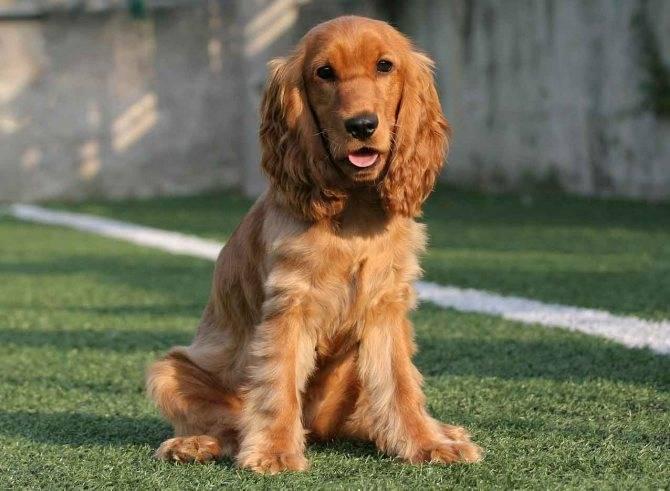Подробное описание породы собак английский спрингер спаниеля