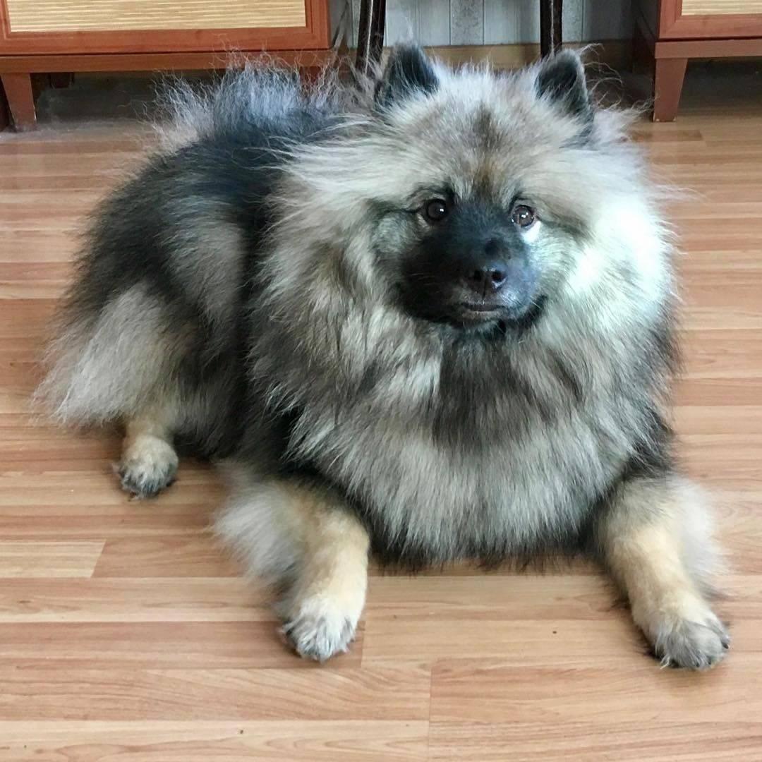 Кеесхонд собака. описание, особенности, уход и цена кеесхонда