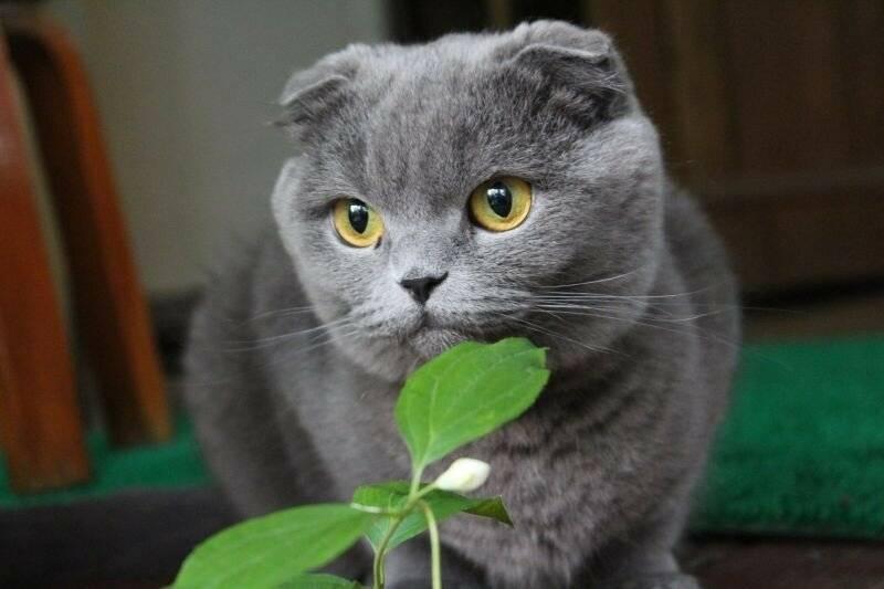 Питание шотландской породы кошек, рацион для маленьких и взрослых
