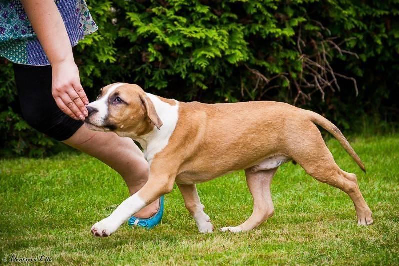 Стаффордширский терьер – дрессировка щенков в домашних условиях