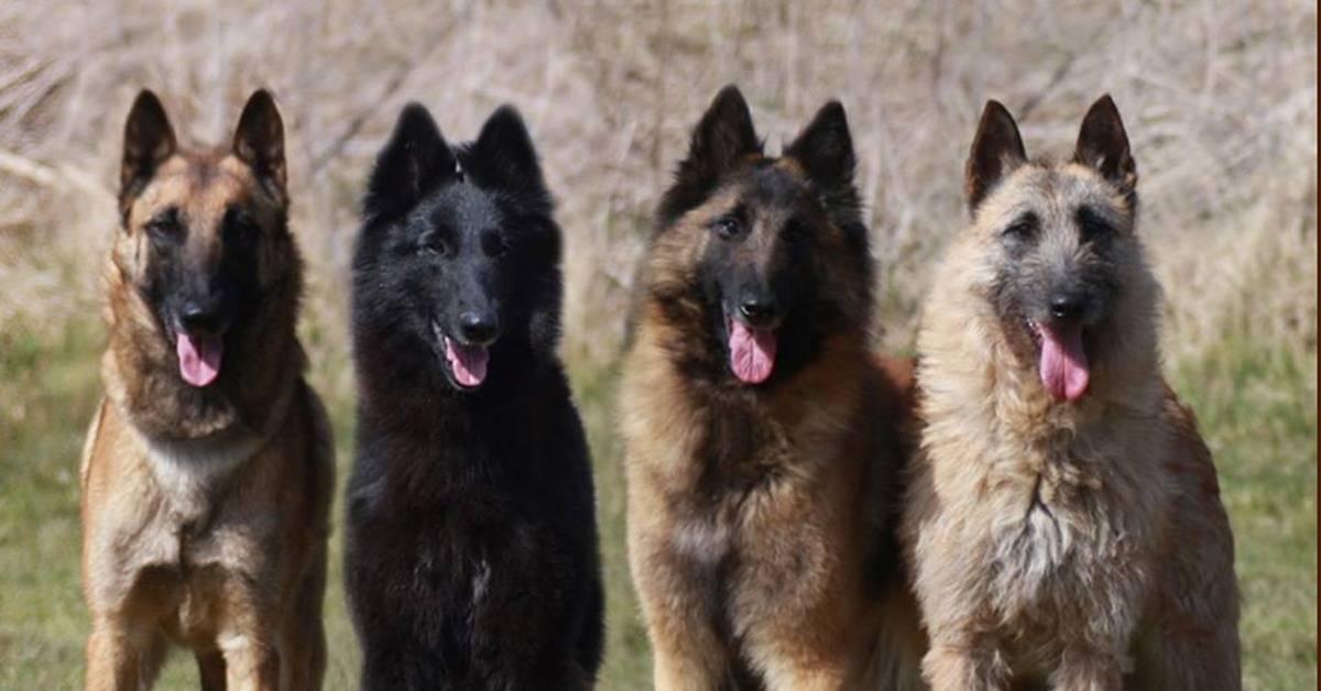 Все породы собак овчарок с фотографиями