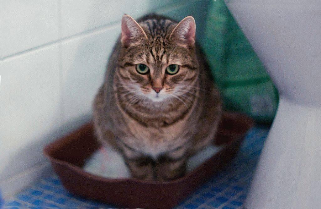 У кота понос и рвота: чем лечить, что делать, когда кошка поносит и рвет