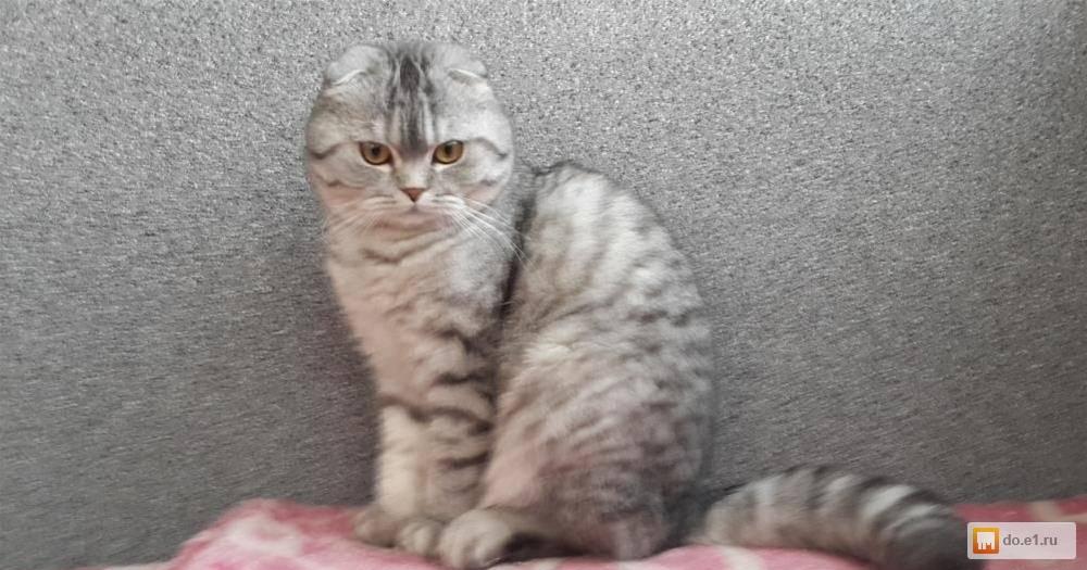 6 пород кошек с окрасом вискас: описание и особенности, вариации цвета табби
