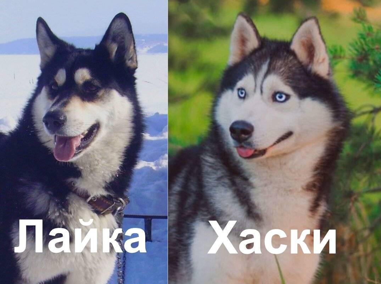 Чем отличаются и в чем схожи хаски и лайки — история и описание пород ⋆ собакапедия