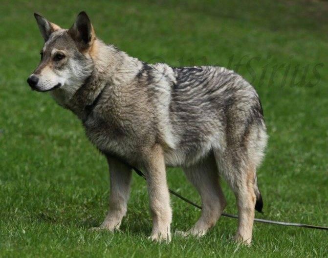 Русский вольфхунд: описание породы собак