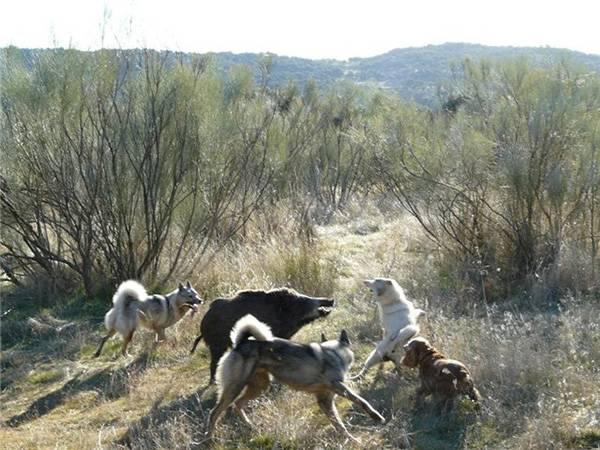 Разновидности и дрессировка охотничьей лайки