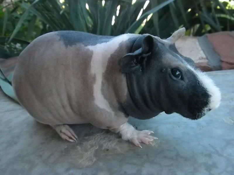 Лысая морская свинка пород скинни или болдуин: фото и описание 2020