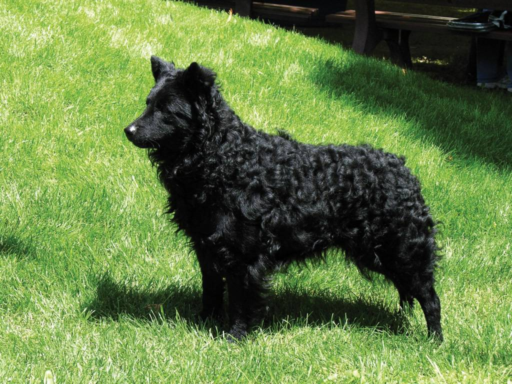 Чёрная овчарка