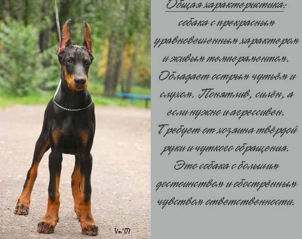 Похожие на добермана собаки, метисы и разновидности доберманов.
