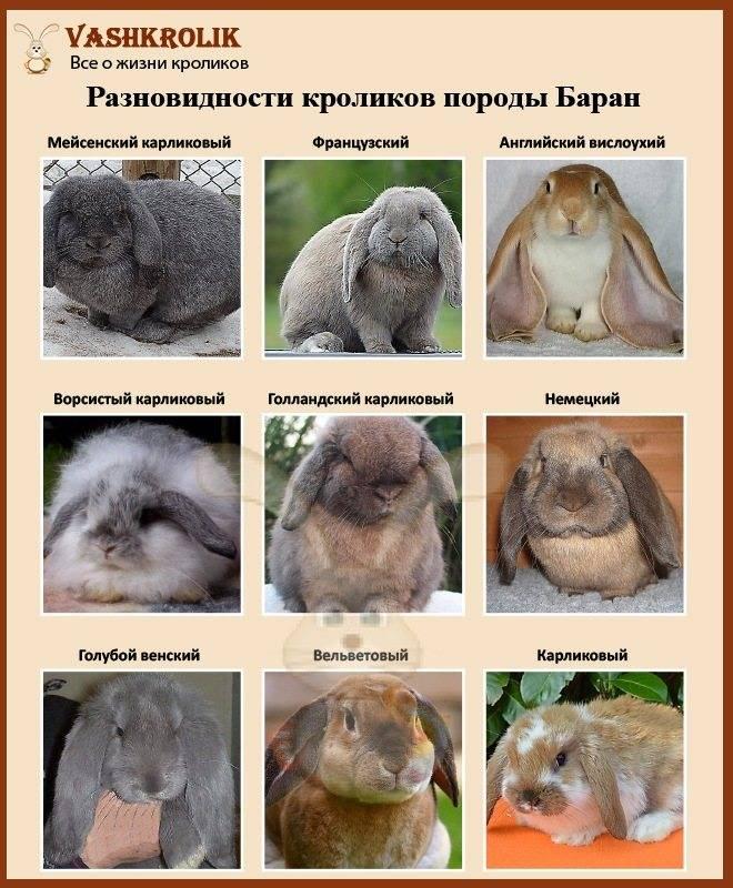 Кролик породы баран — описание и основные характеристики
