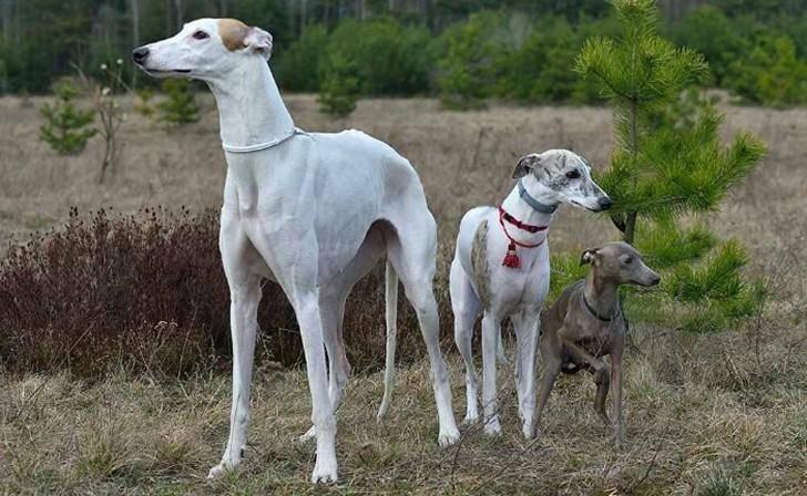 Охотничьи собаки. описание, особенности и названия охотничьих пород собак