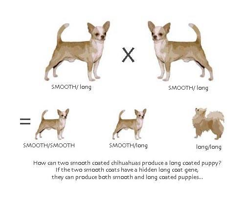 Обзор породы собак чихуахуа: описание с фото, уход и содержание, щенки