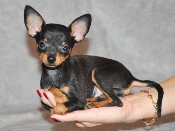 Характеристика собак породы мини той-терьер и ее отличительные признаки